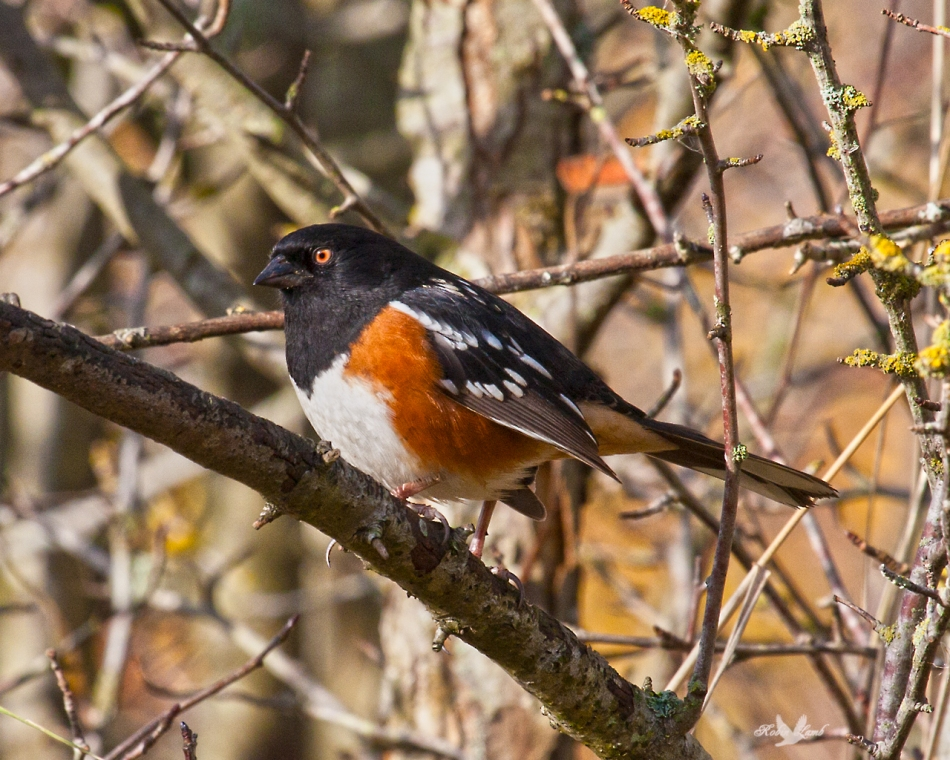 A Spotted Towhee in the sun