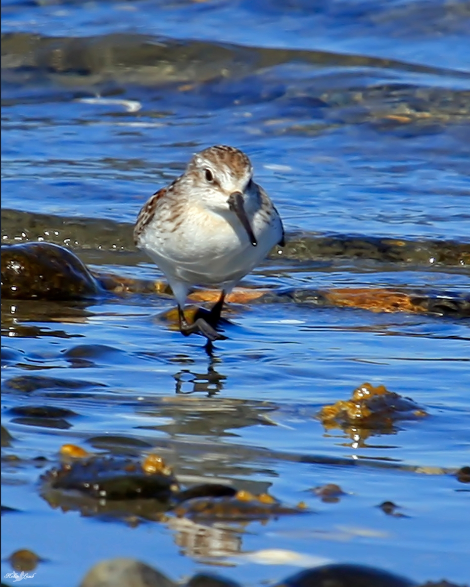 A Western Sandpiper. Such pretty birds!