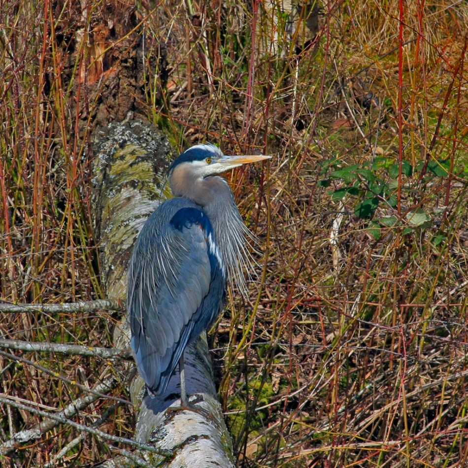 A Great Blue Heron looks out across its domain