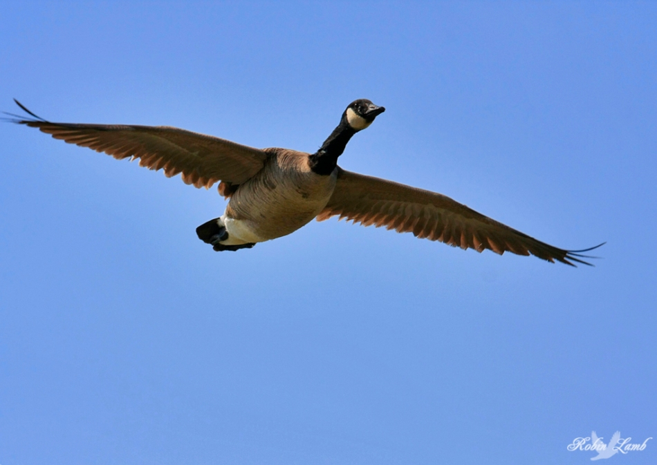 A Canada Goose on a flight path to land in a nearby pond