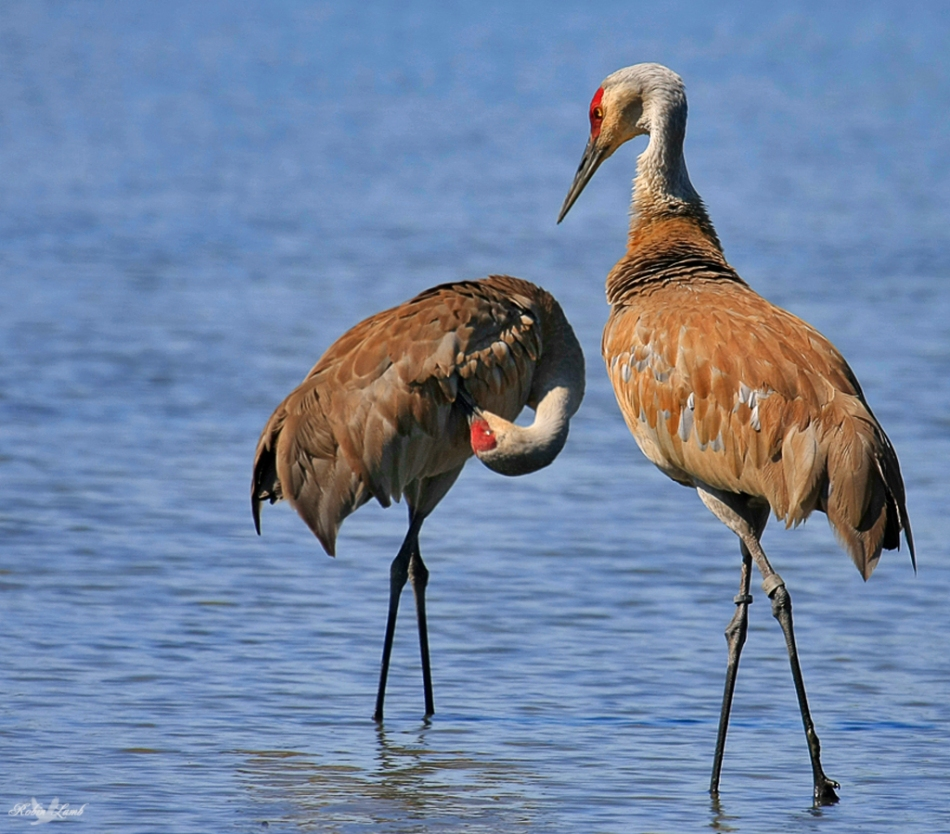 Sandhill Cranes.  Water birds spend hours grooming in order to stay dry and warm