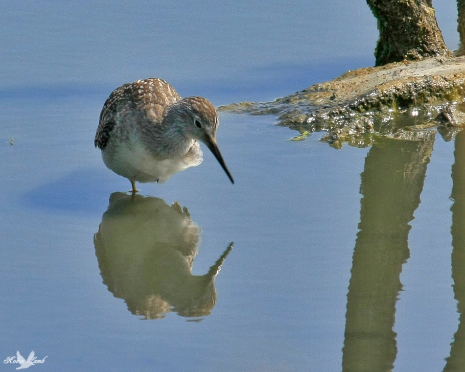 A Yellowlegs contemplating it's reflection