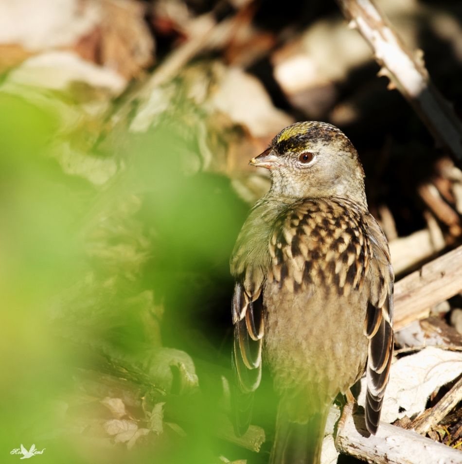 A Golden-crowned Sparrow enjoys a shaft of sunlight from deep in the bushes.