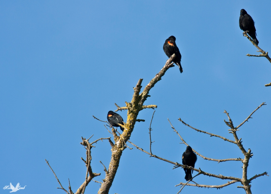 Redwing Blackbirds gather on an old tree.  Maybe getting ready for a trip south!