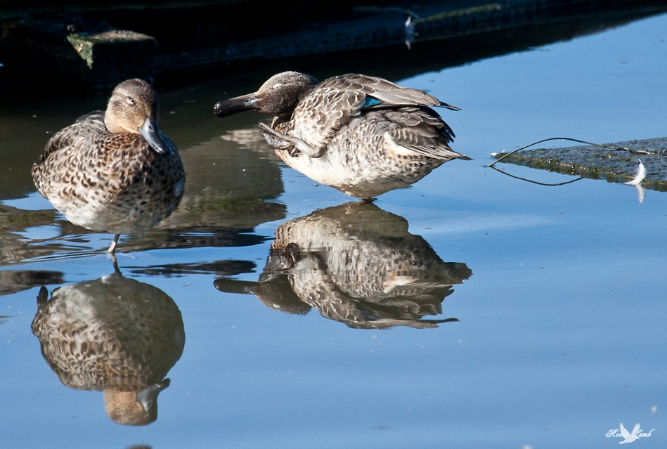 A pair of Green-winged Teal enjoy a bask in the sun
