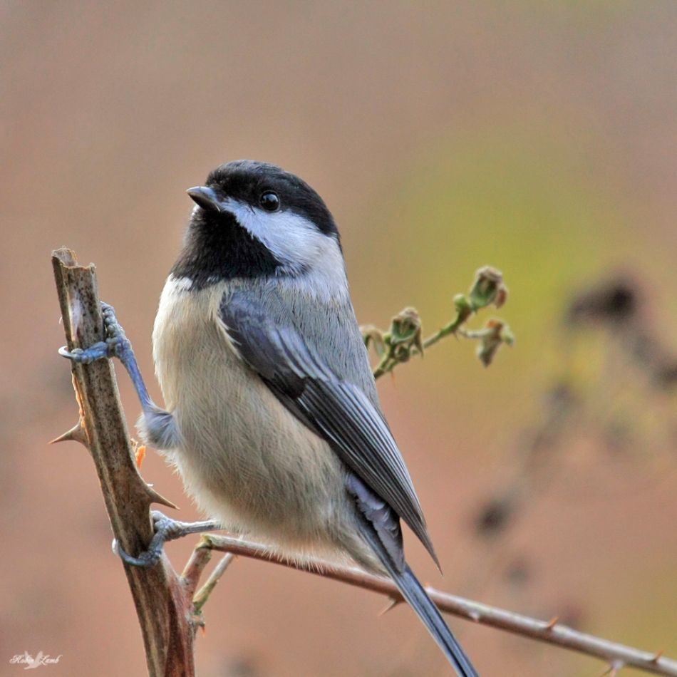 Here's a favourite of mine.  A Black-capped Chickadee