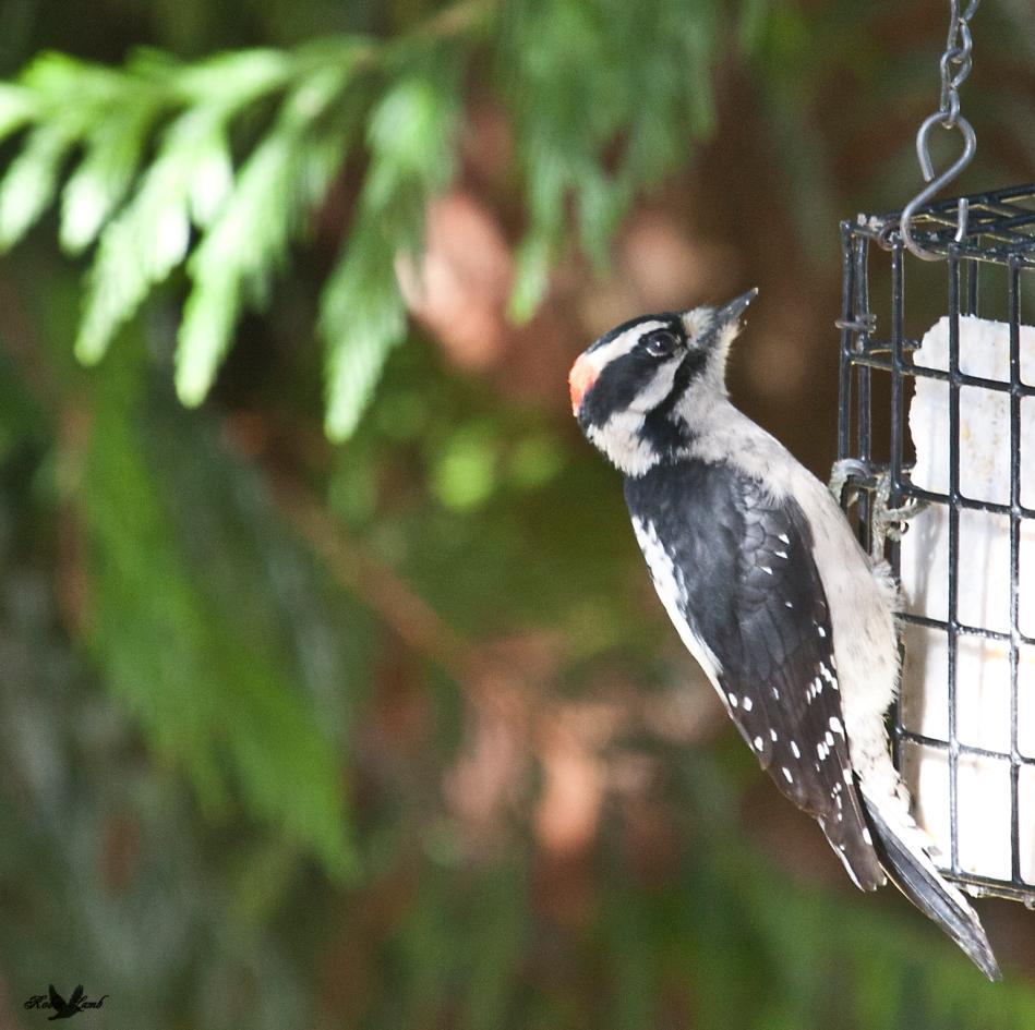 A Downey Woodpecker enjoy the suet