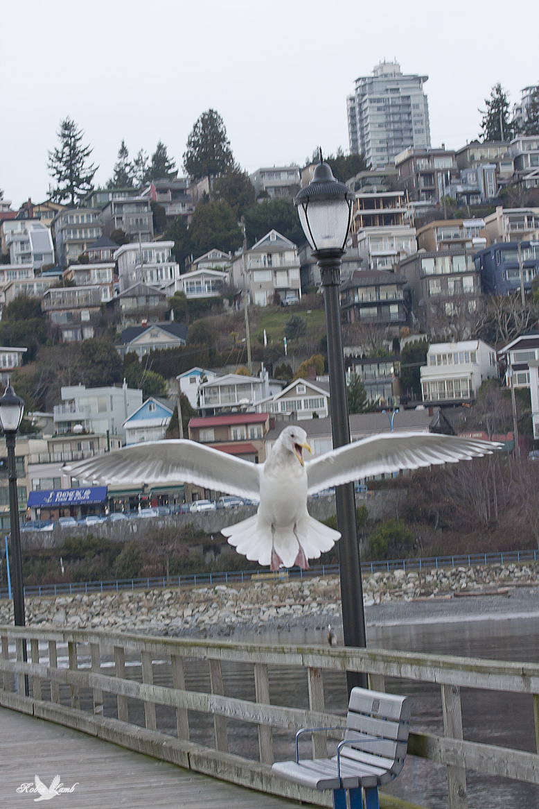 A Gull coming in for a landing.  Sorry, I don't know for sure what it is.  My gull ID isn't good.  They are a confusing lot!