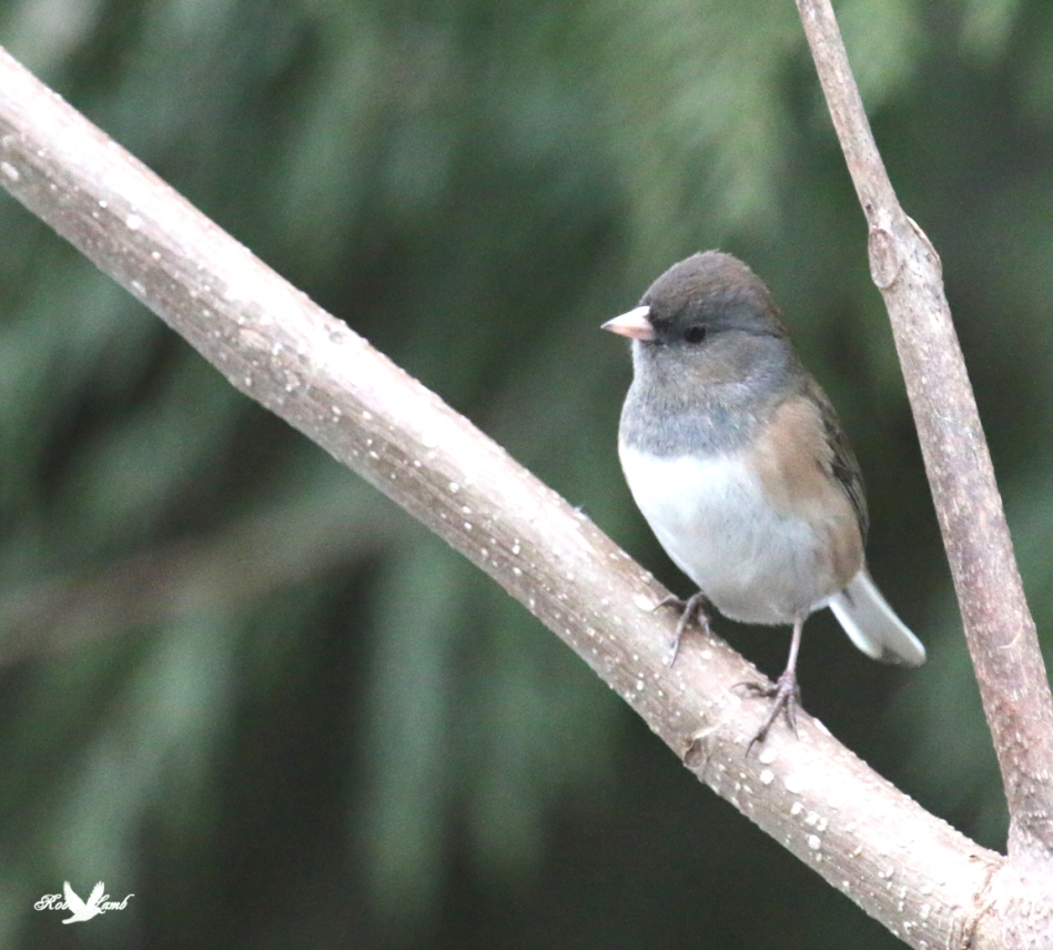 A curious Dark-eyed Junco. This one is a bit more cooperative than yesterdays!