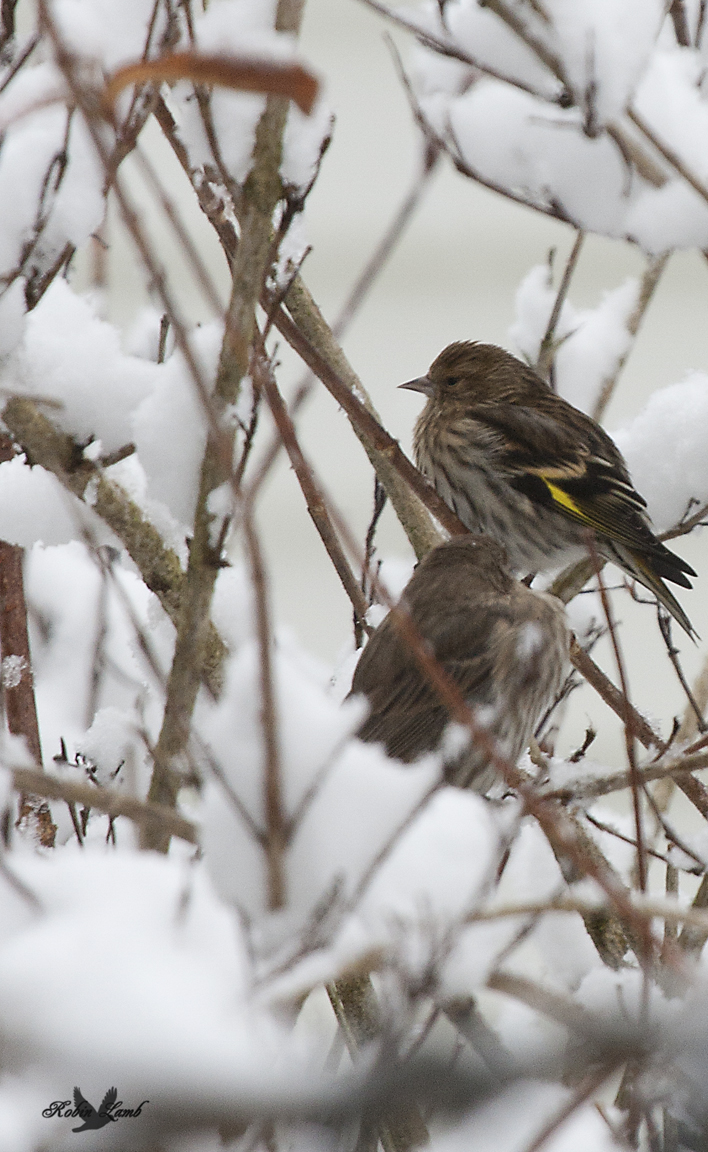 Another snow shot.  This time a Pine Siskin