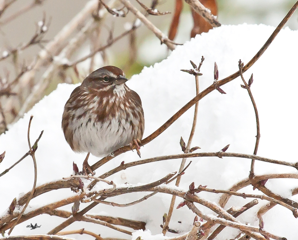 A Song Sparrow in the snow