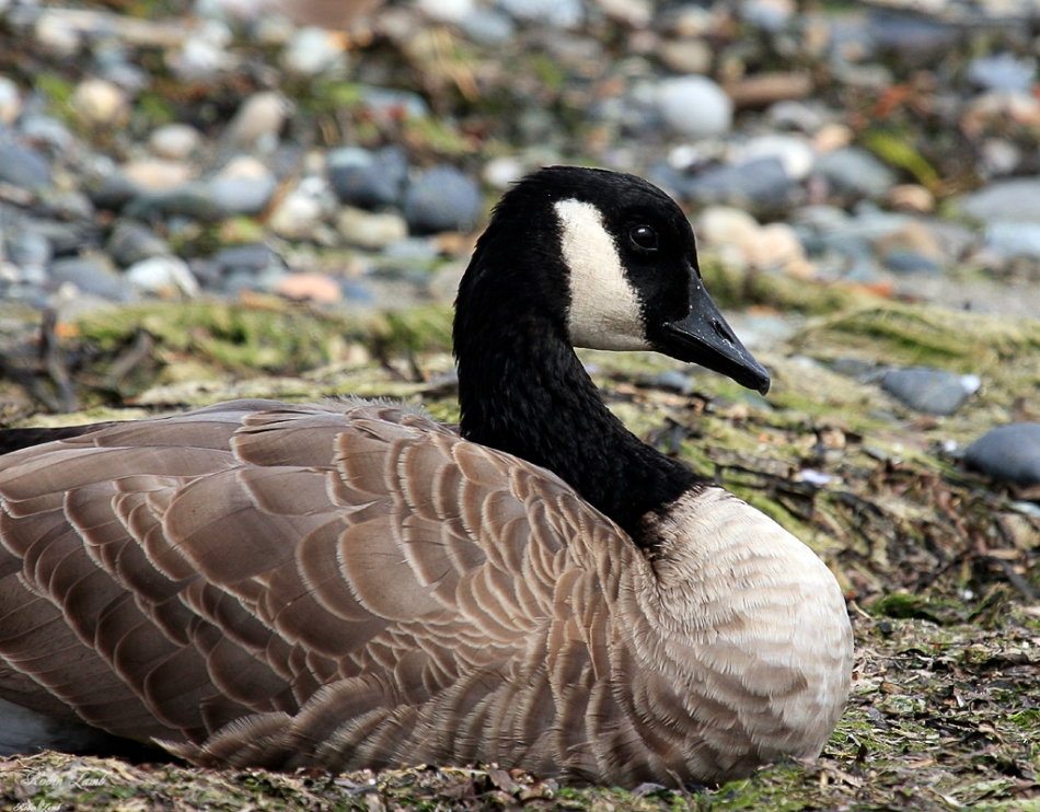 A Canada Goose resting at the tide line.