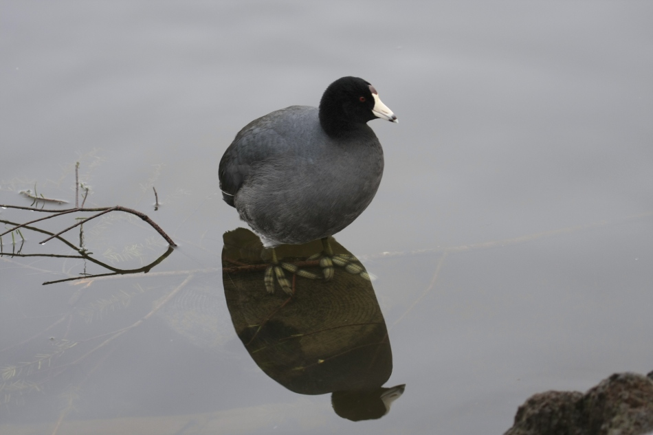 A Coot!  I love the way this guys feet can be seen in it's reflection!