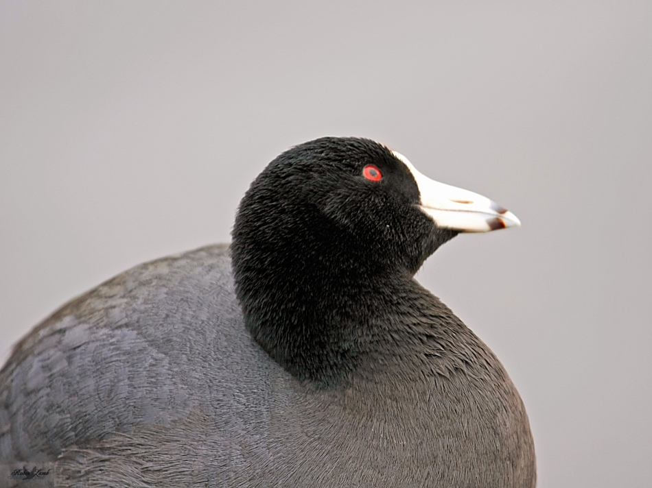 Here's that Coot again.  It has it's eye on a Bald Eagle in a near by tree!  I would too, if I were prey!