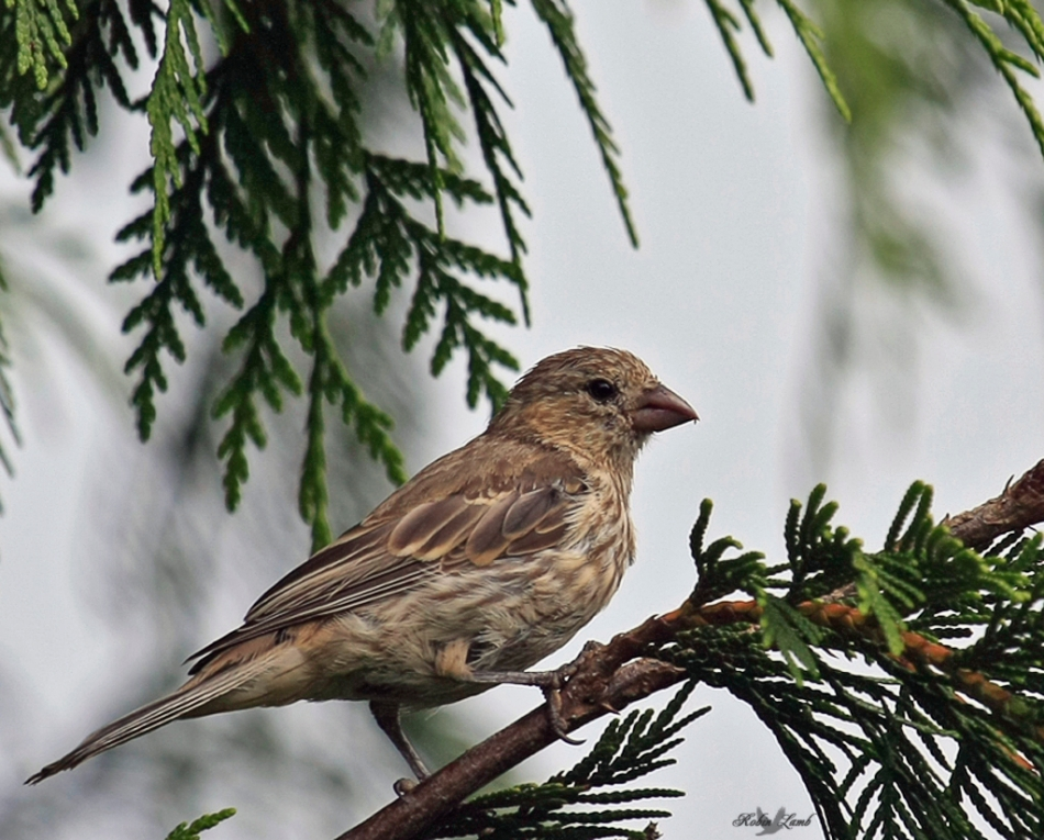 A House Finch hen in a Cedar tree.