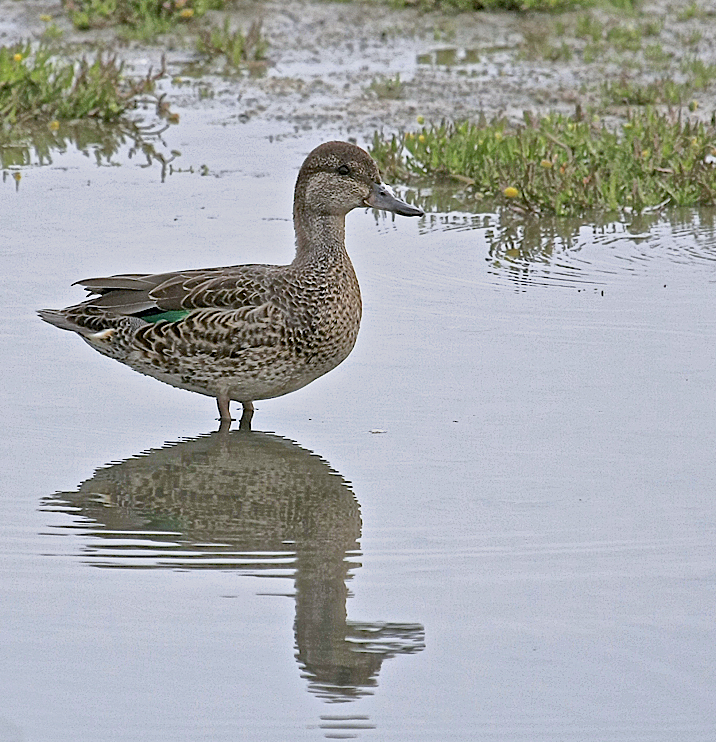 A Green-winged Teal hen