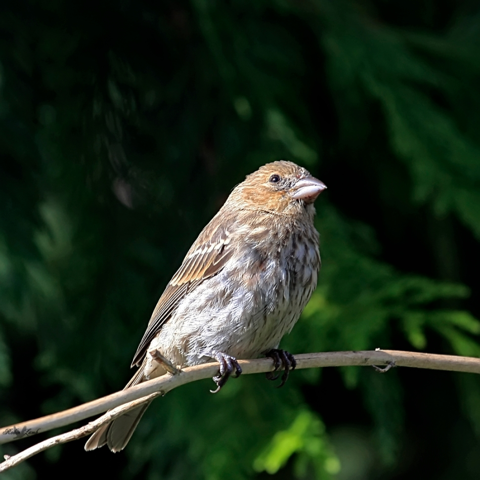A House Finch hen with a far away look.