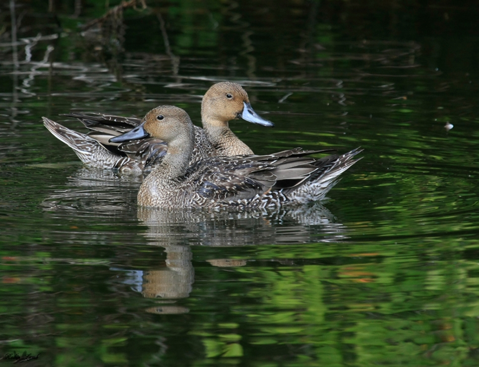 A pair of Northern Pintail hens