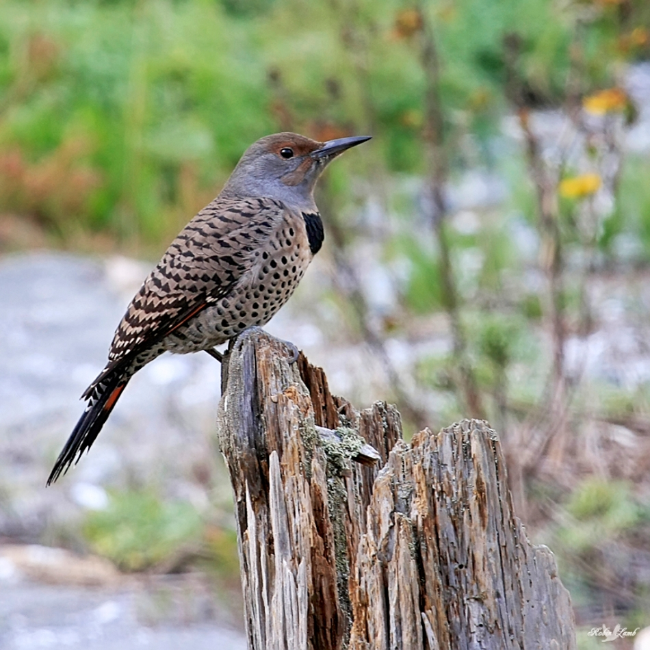 A Flicker sitting on a stump at the side of the road was nice enough to stay there long enough to get it picture took!  Just!