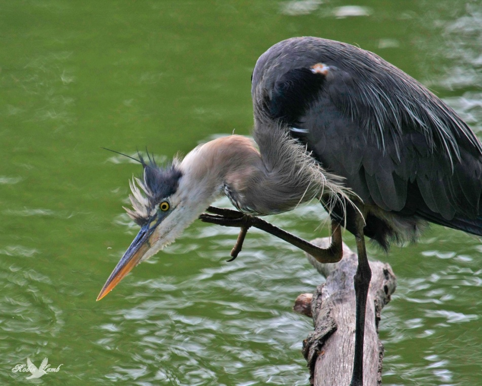 A Great Blue Heron has an itch!