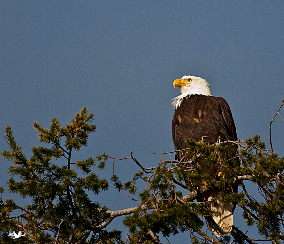 Up the coast there is a spot where the Eagles are very prevalent this time of year.  They have an annual Eagle count.  This years count (last weekend) came up with a total of 1000 Bald Eagles!  How great is that!