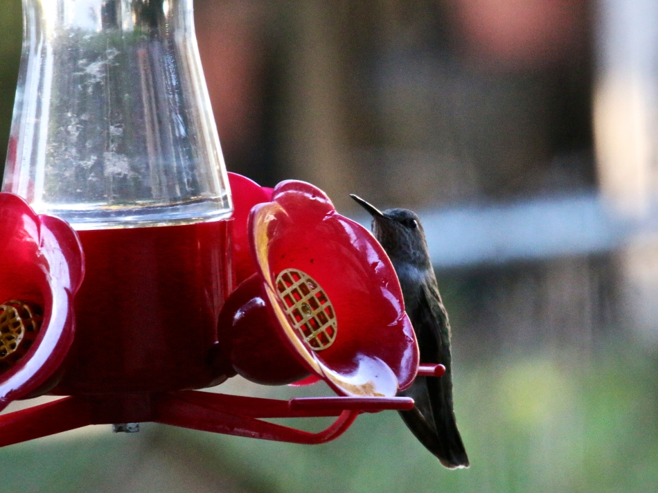 Here it is, well into January and our Hummers are still with us!  I think there's two of them.  Rufous Hummingbirds.