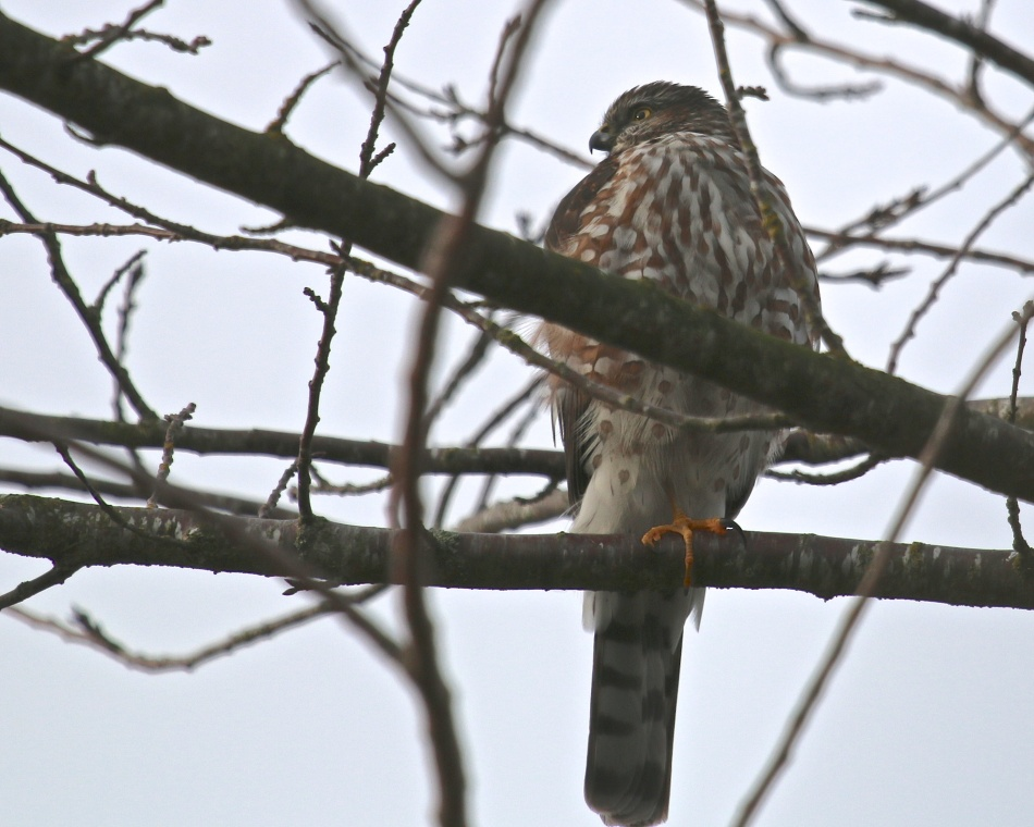 Today's visitor to the back yard is this Sharp=shinned Hawk.  As a result, all the other birds have made themselves scarce!