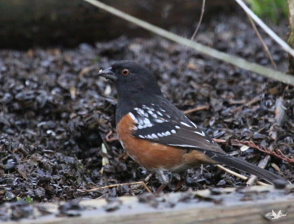 A Spotted Towhee.  It was very energetic in the seed fallout below the feeder.  Scratching and backing up, repeat, repeat!  Must have been some good eating down there!