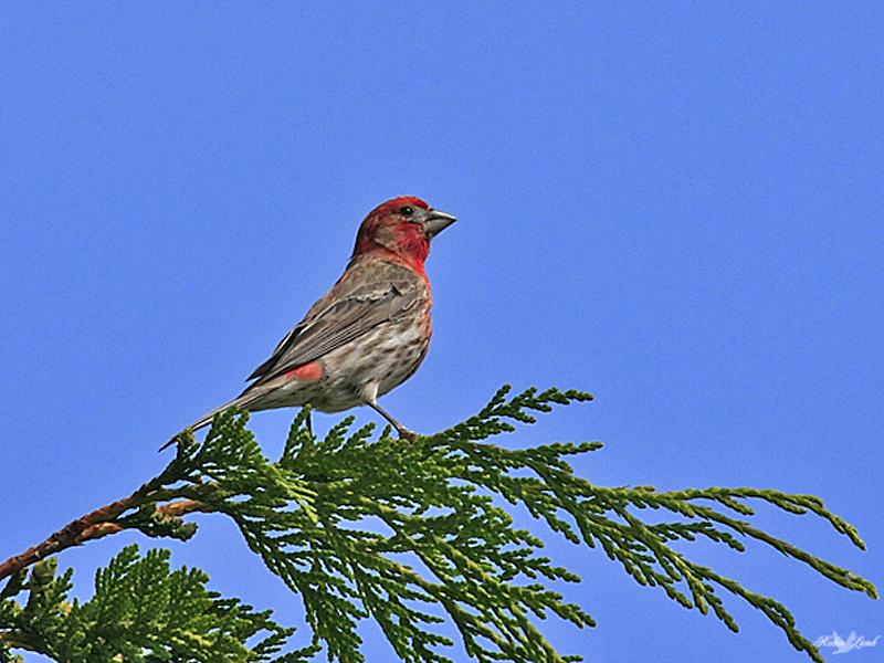 A House Finch male sits high in a Cedar tree against a clear blue sky