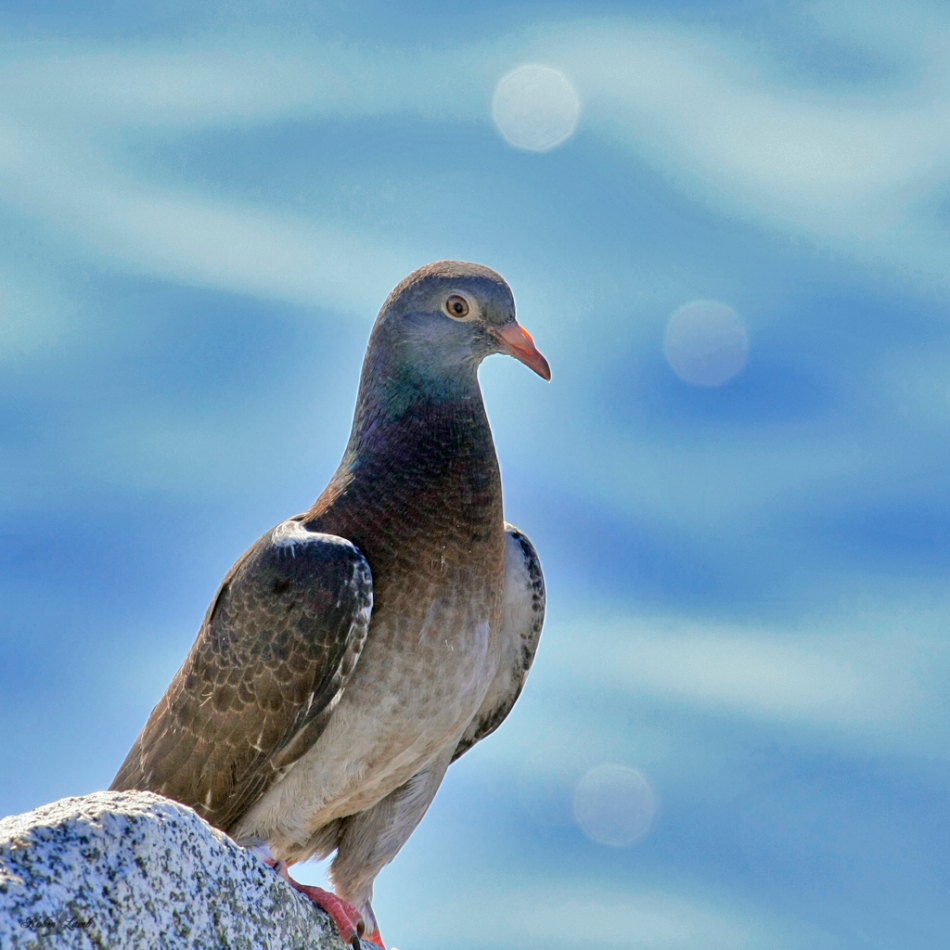 A Rock Dove looks out from  the rocks of the Quay in White Rock, B.C.  It has a nest in the rocks