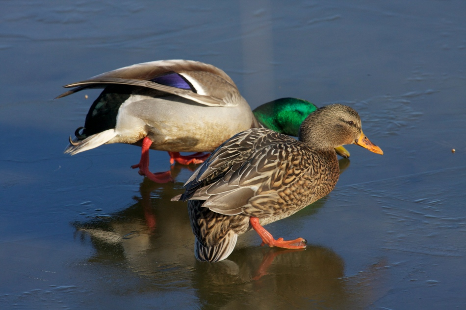 With the current cold snap the ducks are walking like drunkards!