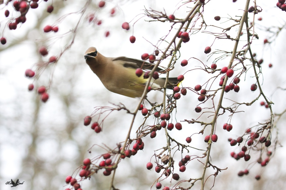A Cedar Waxwing reaches for berries