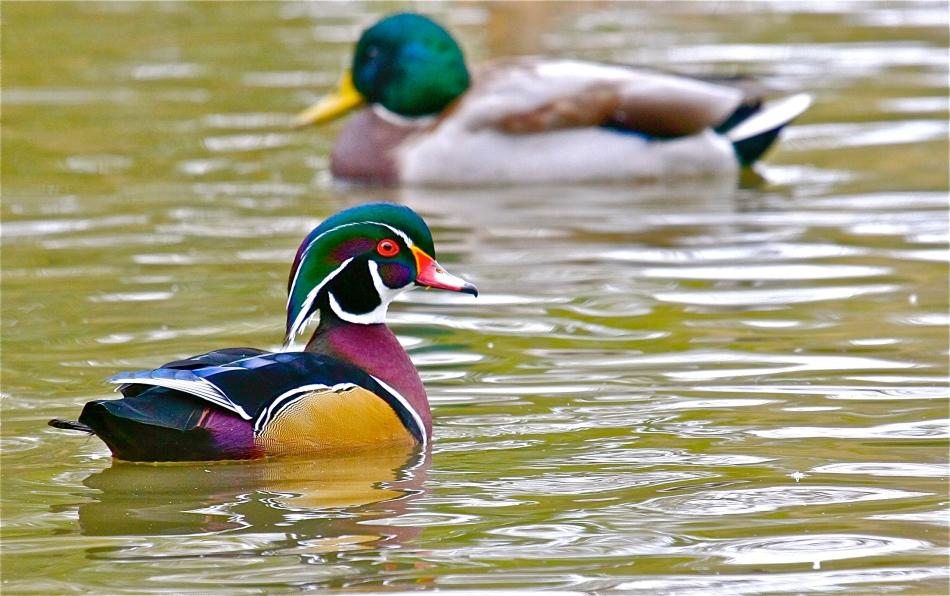 A Wood Duck drake struts his stuff