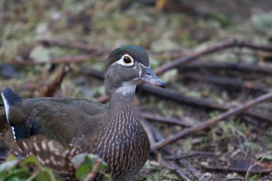 Here's a hen Wood duck.  One of the ones that yesterdays bird was trying to impress!