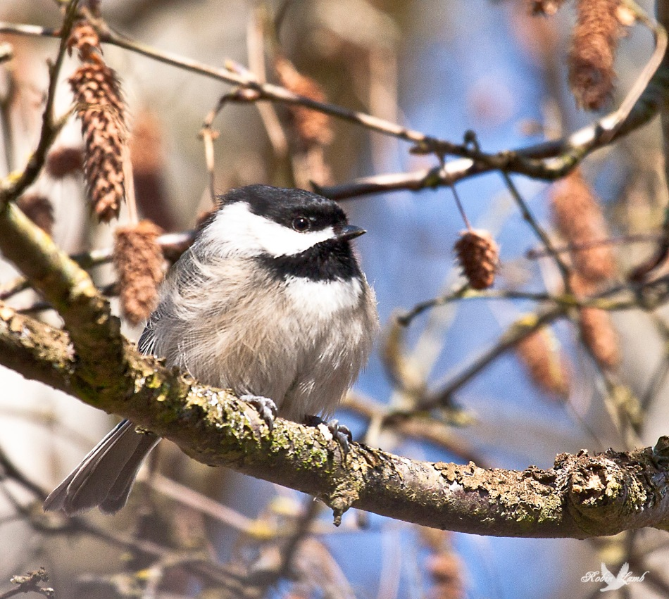 On the same day as the last one, here's another Black-capped Chickadee