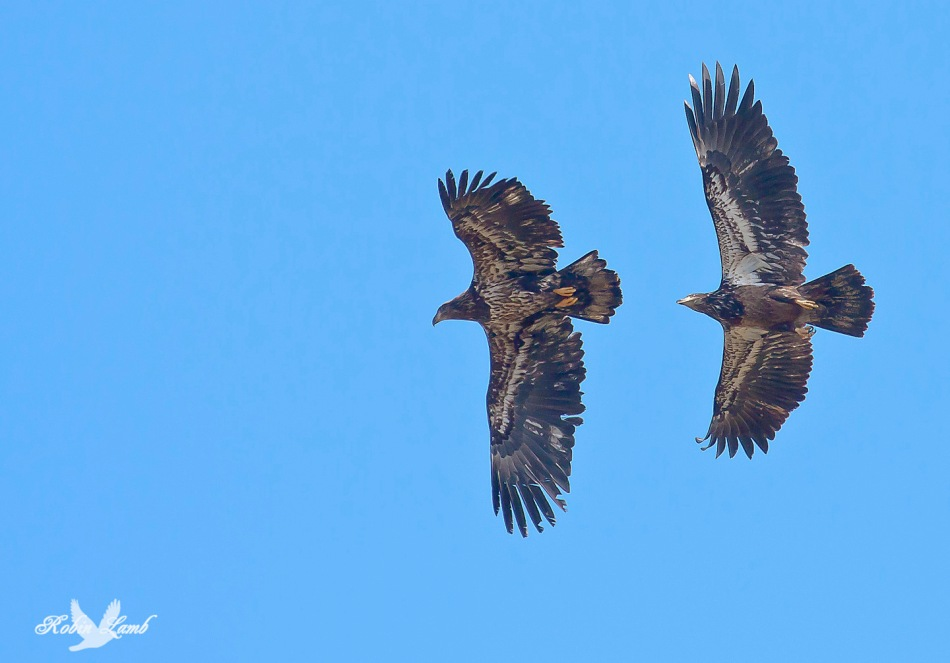 A pair of immature Bald Eagles.  Perhaps brothers or sisters