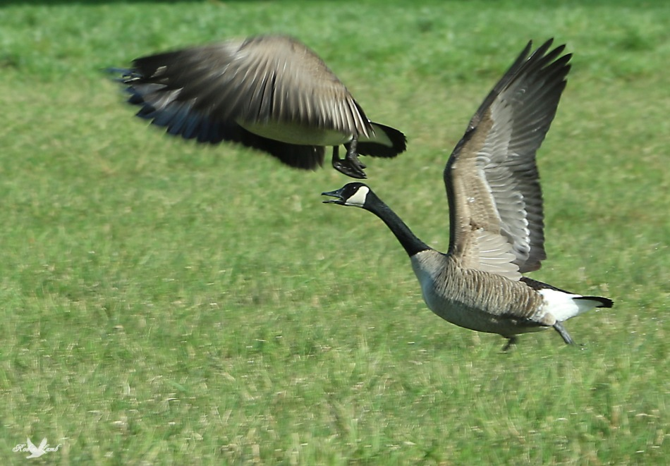 I left with Geese and I'm back with Geese!  Here's a couple of Canada's on their take off from a local field