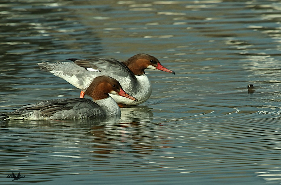 A pair of Common Merganser hens.  Sisters?  Perhaps!