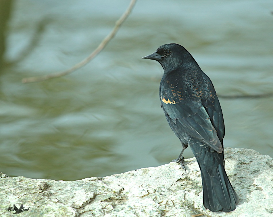 A Red-winged Blackbird beside the water
