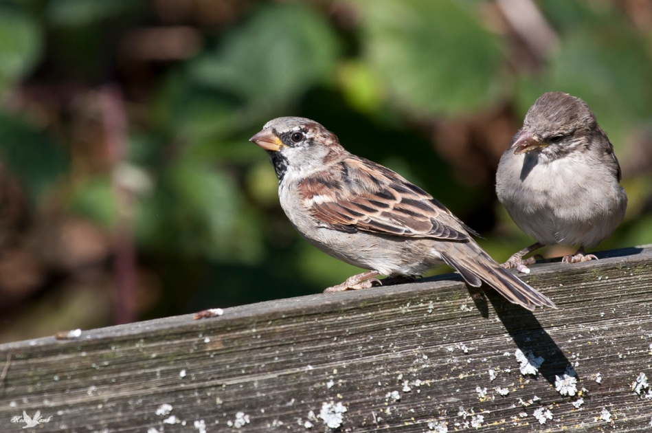 An fledgling House Sparrow waiting for a treat from Dad