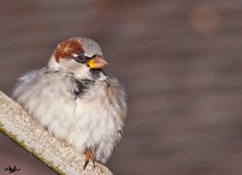 A House Sparrow all puffed up on a rainy day