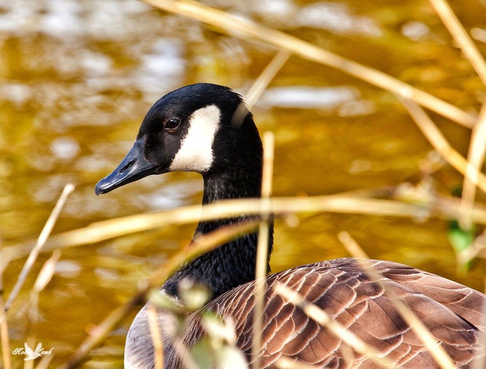 On the nest!  A Canada Goose.