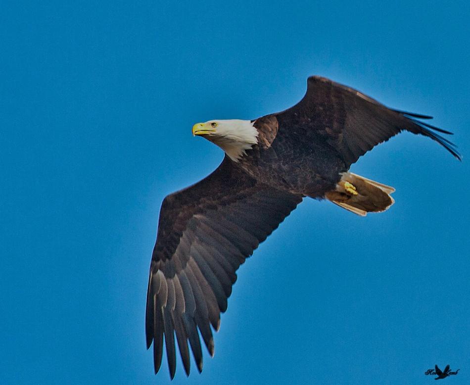 A gorgeous Bald Eagle!