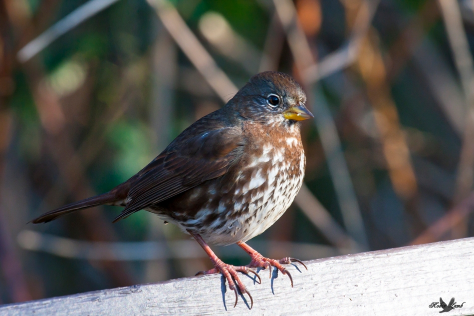 A proud Fox Sparrow
