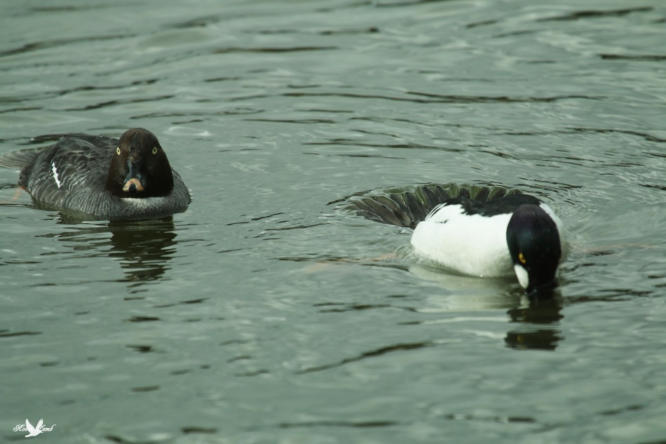 A pair of Common Goldeneyes.  The male on the right is in the process of diving.  They use their tail feathers as rudders!
