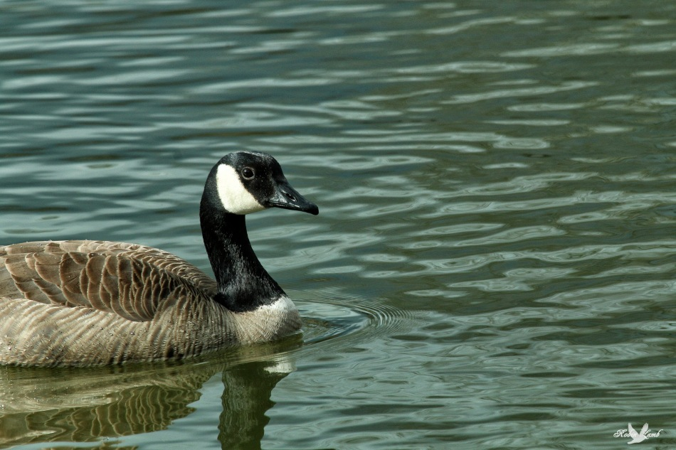 A Canada Goose swims by!