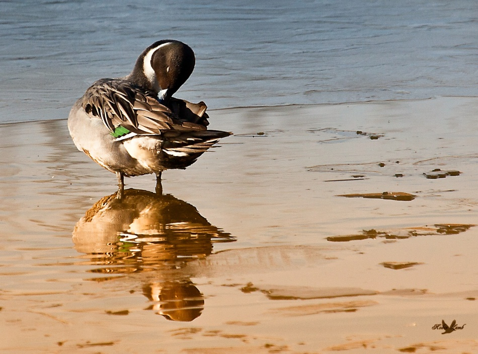 A Northern Pintail preening.  There was great light on the water.