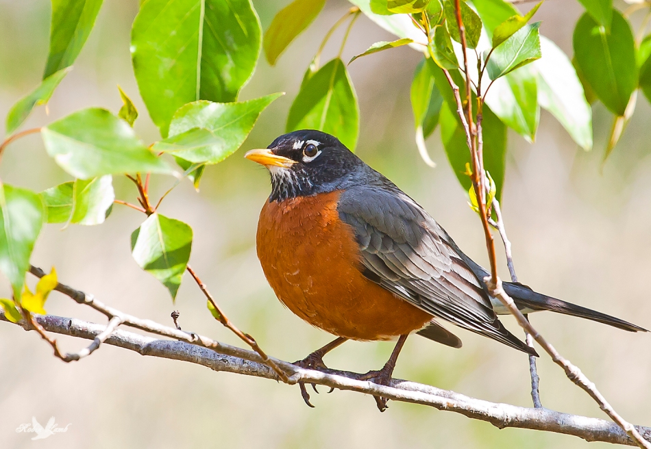 Here's another American Robin, except this one is in Canada so I guess it's a Canadian Robin!