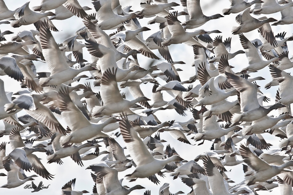 This is a re-post from about a year ago.  But I do so like it!  A large flock of Snow Geese.
