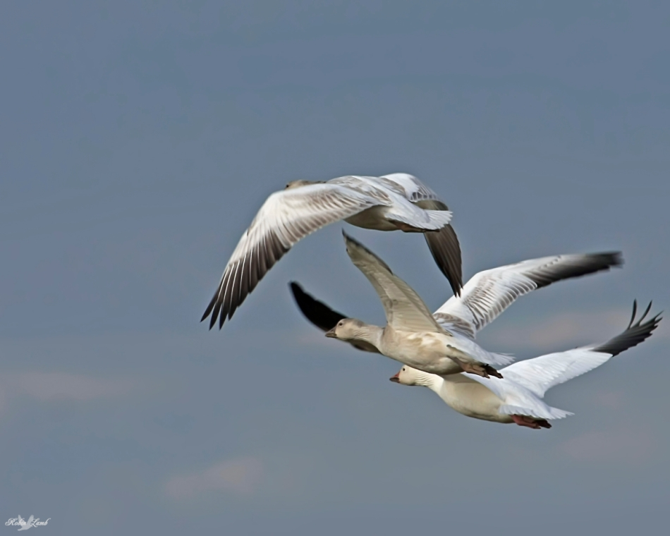 Three Snow Geese in Flight.